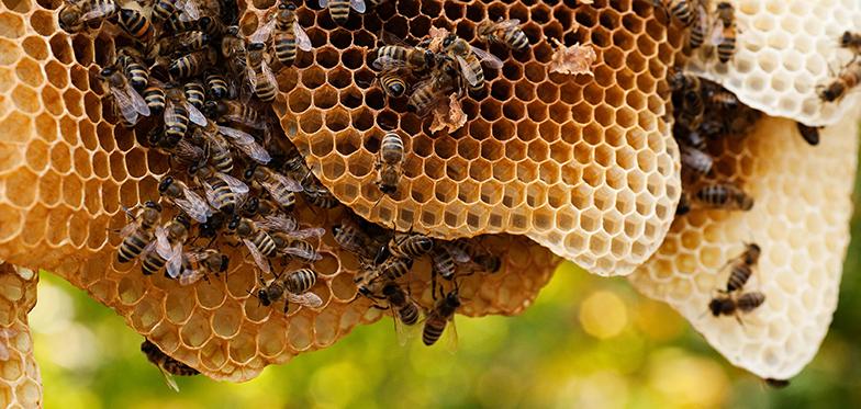 Bienen_auf_Naturwaben_780x370